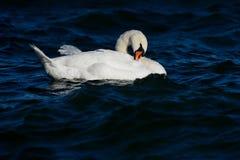 疣鼻天鹅固定您的羽毛在水中 库存照片