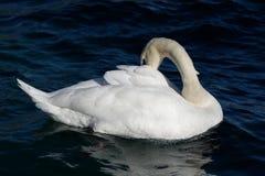 疣鼻天鹅固定您的羽毛在水中 免版税库存照片
