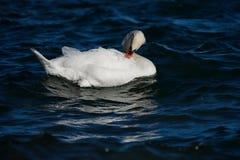 疣鼻天鹅固定您的羽毛在水中 免版税库存图片