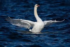 疣鼻天鹅在与宽翼传播的深蓝水中 库存照片