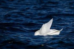 疣鼻天鹅在水中游泳 图库摄影