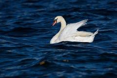疣鼻天鹅在水中游泳 库存照片