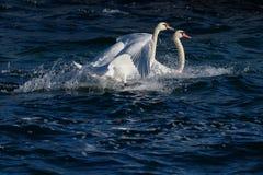 疣鼻天鹅在水中 免版税库存图片