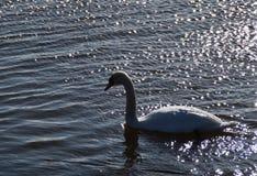 疣鼻天鹅天鹅座olor在发光的水域中 免版税库存照片