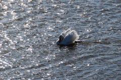 疣鼻天鹅天鹅座olor在发光的水域中 图库摄影