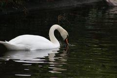 疣鼻天鹅头射击,天鹅座olor,在一个公园在都伯林的美丽的动物 免版税库存图片