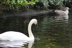 疣鼻天鹅头射击,天鹅座olor,在一个公园在都伯林的美丽的动物 库存图片