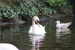 疣鼻天鹅头射击,天鹅座olor,在一个公园在都伯林的美丽的动物 免版税库存照片
