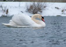 疣鼻天鹅游泳在冬天河喘气了 库存照片