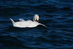 疣鼻天鹅羽毛在水中 免版税库存图片