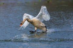 疣鼻天鹅跑在水的天鹅座olor 免版税库存照片