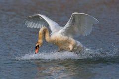 疣鼻天鹅跑水表面上的天鹅座olor 免版税库存图片