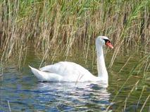 疣鼻天鹅,天鹅座olor,游泳在湖betweed芦苇特写镜头画象,选择聚焦,浅DOF 库存照片