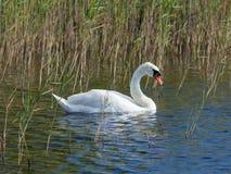 疣鼻天鹅,天鹅座olor,游泳在湖betweed芦苇特写镜头画象,选择聚焦,浅DOF 免版税库存图片