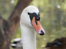 疣鼻天鹅[天鹅座olor]在西里西亚,波兰 免版税库存照片