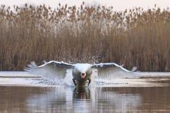 疣鼻天鹅加速巨大速度 免版税库存照片