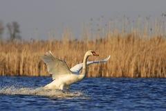 疣鼻天鹅在一个蓝色湖振翼 免版税库存图片