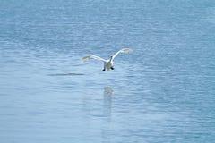 疣鼻天鹅在Plaiaundi的天鹅座olor 免版税库存图片