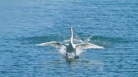 疣鼻天鹅在Plaiaundi的天鹅座olor 库存图片
