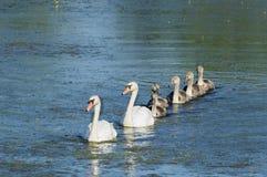 疣鼻天鹅家庭巡航的池塘 库存图片