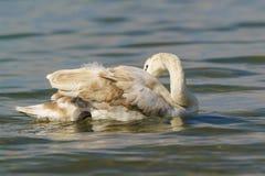 年轻疣鼻天鹅拉特 与自夸它的羽毛的杂色的颜色的天鹅座olor 免版税图库摄影