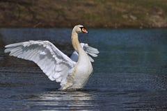 疣鼻天鹅拍动它的翼的天鹅座olor 库存照片