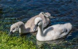 疣鼻天鹅游泳两只幼小小天鹅在湖 免版税库存照片