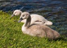 疣鼻天鹅游泳两只幼小小天鹅在湖 库存照片