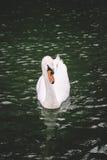 疣鼻天鹅游泳在湖 免版税图库摄影