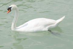 疣鼻天鹅游泳在巴拉顿湖用绿色水,特写镜头画象,选择聚焦,浅DOF 免版税库存图片