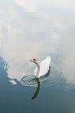 疣鼻天鹅白色 免版税图库摄影