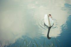 疣鼻天鹅白色 库存图片
