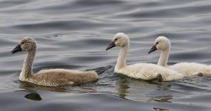 疣鼻天鹅的三只美丽的小鸡游泳 图库摄影