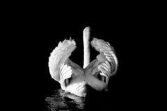 疣鼻天鹅背面图在黑白的 免版税库存照片