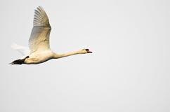 在白色背景的疣鼻天鹅飞行 库存图片