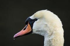 疣鼻天鹅,天鹅座olor,在一黑暗的backgrou的画象顶头特写镜头 库存照片