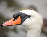 疣鼻天鹅,天鹅座olor,成人,特写镜头 免版税库存照片
