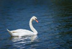 疣鼻天鹅(天鹅座olor)游泳 免版税库存照片