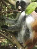 疣猴森林jozani猴子红色 免版税图库摄影