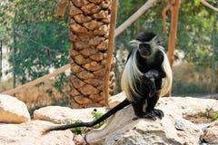 疣猴猴子掌上型计算机坐的结构树下 库存图片