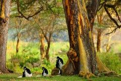 疣猴 免版税库存图片