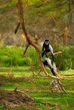 疣猴 免版税库存照片