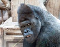 疯狂的大猩猩 免版税库存照片