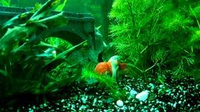 疯狂的小的lionhead红帽子金鱼 库存图片
