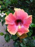 疯狂的木槿花 库存图片