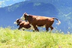疯狂的母牛在山跳 免版税库存图片