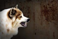 疯狂的狗威胁展示犬齿有流口水 是狂犬病的症状 免版税图库摄影