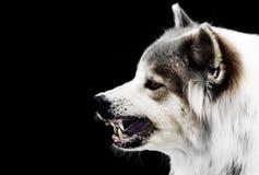 疯狂的狗威胁展示犬齿有流口水 是狂犬病的症状 免版税库存照片