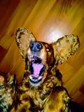 疯狂的狗 免版税库存照片