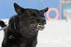疯狂的狗 免版税库存图片